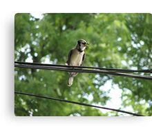 Blue Jay On A Wire Canvas Print