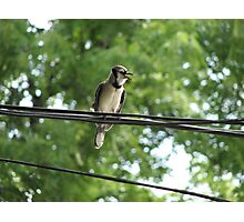 Blue Jay On A Wire Photographic Print