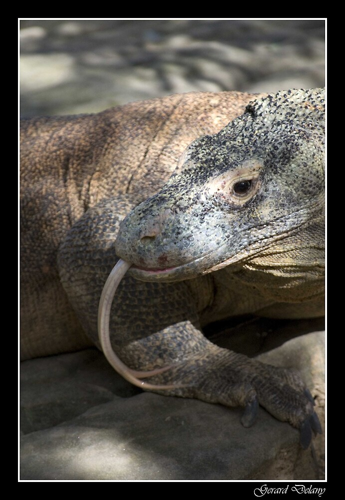 Komodo Dragon by Gerard Delany