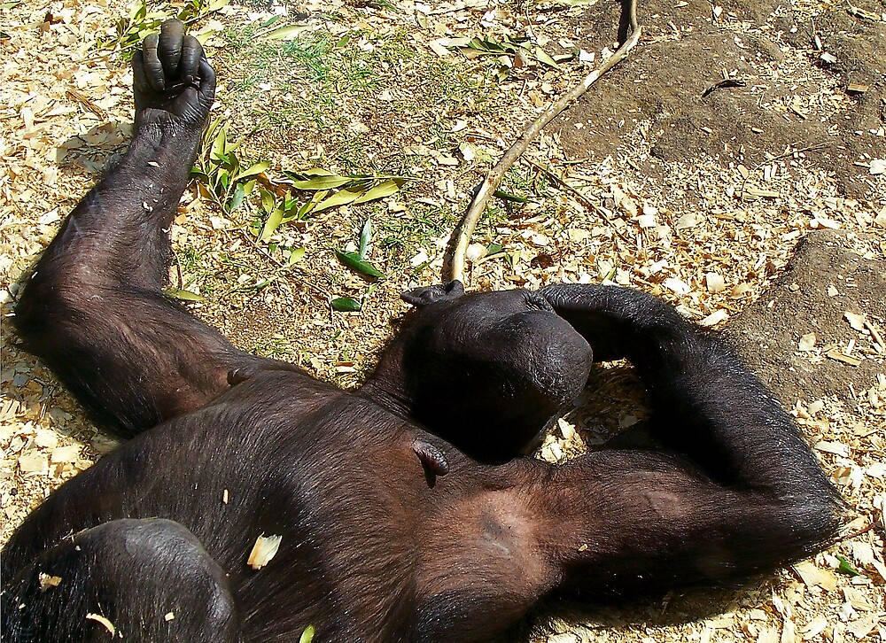 Chimpanzee by Gerard Delany
