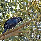 Tui in the Gum by Brenda Anderson