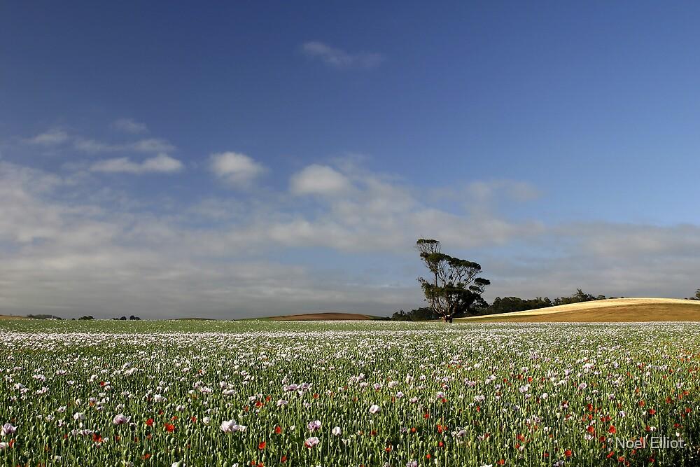Poppy Fields - Tasmania by Noel Elliot