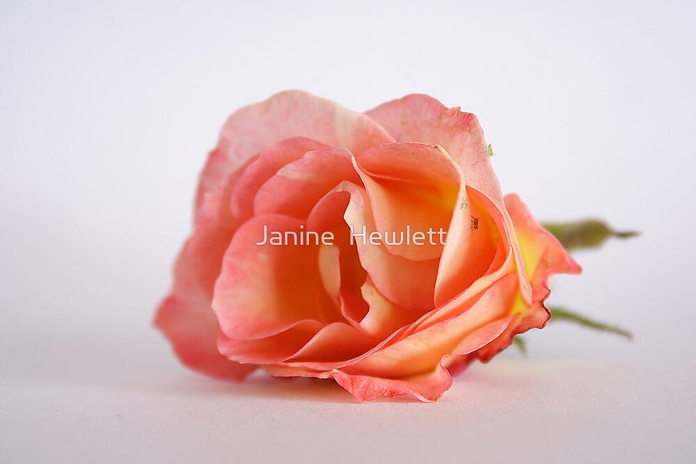 Peachy by Janine  Hewlett