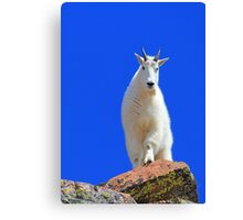 A Billy in the Gore Range Canvas Print