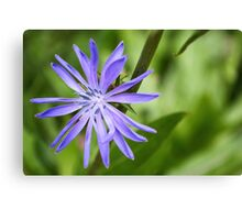 Single Purple Chicory Flower Canvas Print
