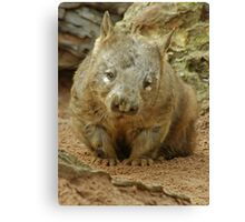 Hair Nose Wombat Canvas Print