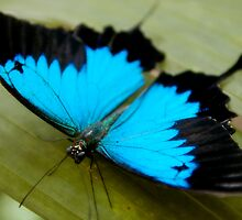 ulysses butterfly by craigNdi