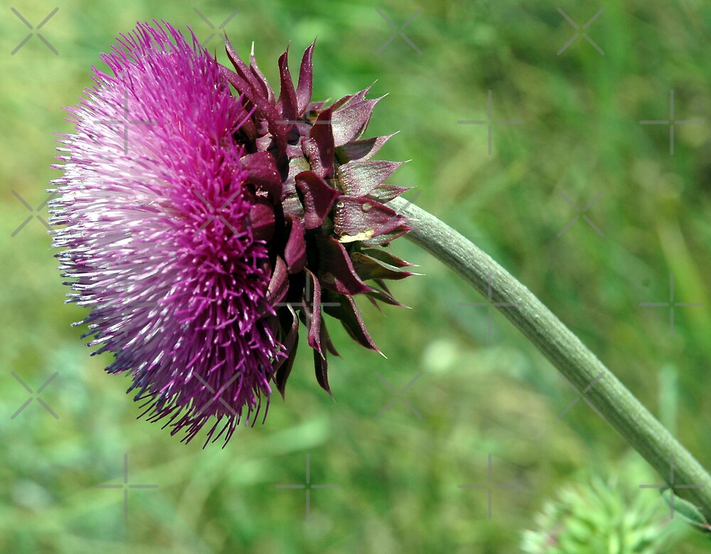 Thistle 2 by Holly Werner