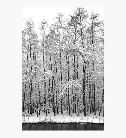 Alders in the snow Photographic Print