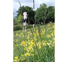 Cowslips and cows Photographic Print