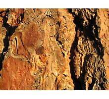 Sunset Bark Pondersoa Pine Photographic Print