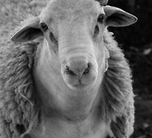One lovely sheep by Rebecca  Nicolandos