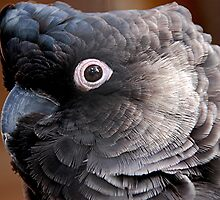 Black Cockatoo, Gorge Wildlife Park, Sth. Aust by patapping