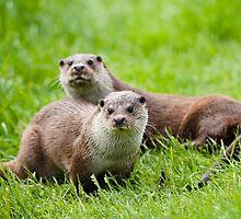 European otters by ChrisMillsPhoto