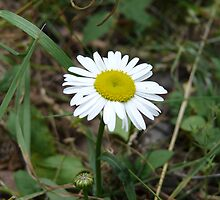 ox-eye daisy by Vyacheslav Sergeev