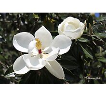 High in a Magnolia Tree ~ Blooms Photographic Print