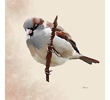 House Sparrow (1) Photographic Print