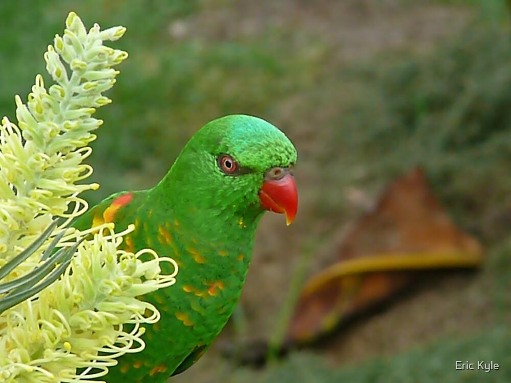 Australian Grass Parrot by Eric Kyle