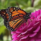 Monarch Butterfly by Rusty Katchmer