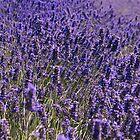 """""""Lavender"""" by sheldoni"""