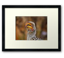 Yellow Billed Horn-bill  Framed Print