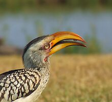 Yellow Billed Hornbill  by Mark Lindsay