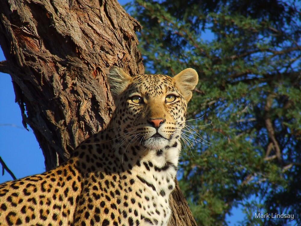 Alert Leopard by Mark Lindsay