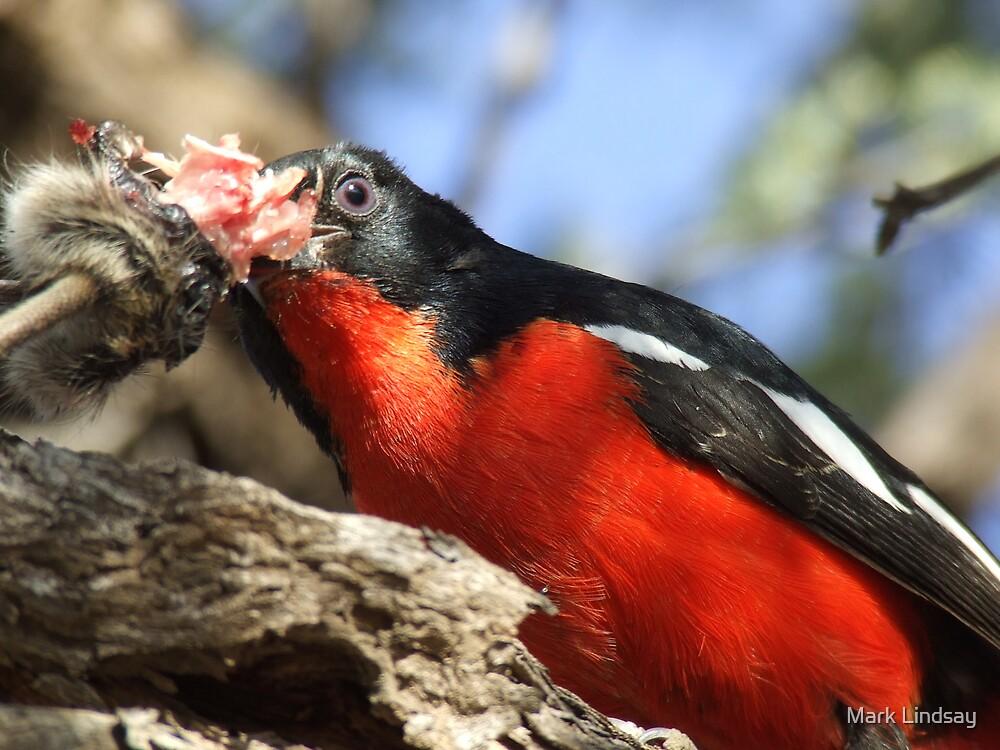 Crimson Breasted Shrike  by Mark Lindsay