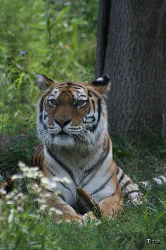 Tigris by Tigris