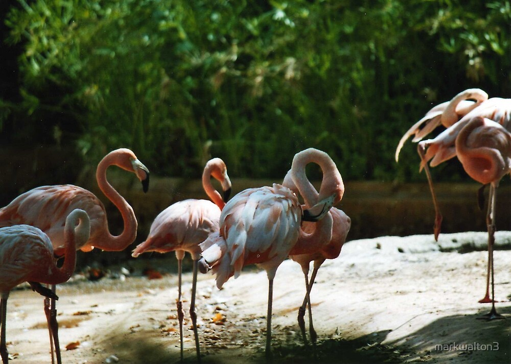 flamingos by markwalton3