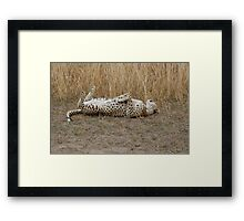 cheetah playing,and rolling over Framed Print