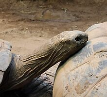 Aldabra tortoises by Kelly Morris