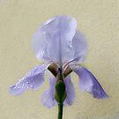 lilac_Beared_Iris by DPalmer