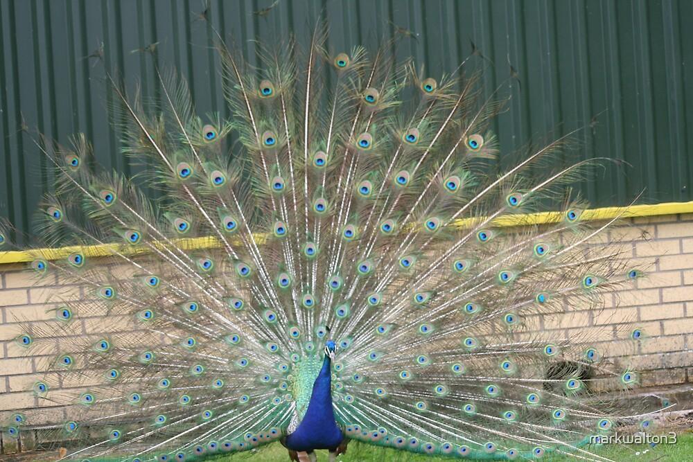 peacock by markwalton3