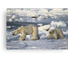 Polar Bear & Cub Walking on the Tundra, Churchill, Canada Canvas Print