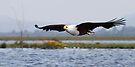 Africa Fish Eagle Swoops, Lake Naivasha, Kenya  by Carole-Anne
