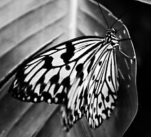 black and white butterfly by Deborah Parkin
