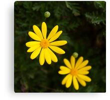 Little yellow daisy, floral, yellow, green, botanical Canvas Print