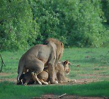 lions in love by sijones