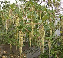 catkins by symbioeco