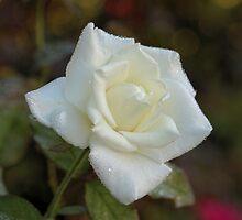 White Rose by Bob Hardy