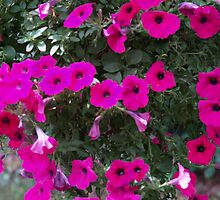 Shocking pink  petunias by carolcath