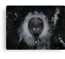 Baby Turkey Vulture, 6 weeks old Canvas Print