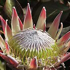 The King Protea (Protea cynaroides) by Marilyn Harris