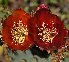 Large Cactus Flowers by Geoffrey Higges