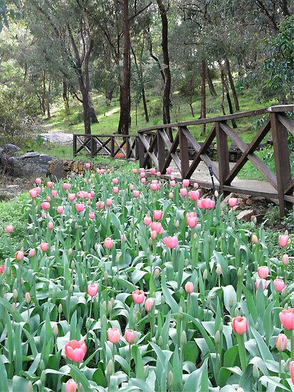 Tulips at Araluen Botanic Park   by Susan Moss