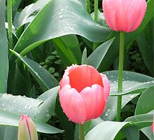 Pink Tulips by Susan Moss