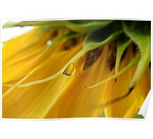 SINGLE RAIN DROP ON A SUNFLOWER Poster