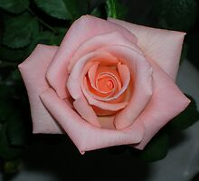 Perfect rose by vsushant