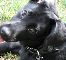 lab mix puppy-Maya-1 by hubler
